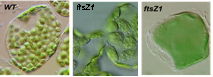 Dose-dependent chloroplast division defects in Arabidopsis ftsZ1 antisense lines.
