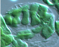 Dubmbell-shaped chloroplasts in the arc5 mutant